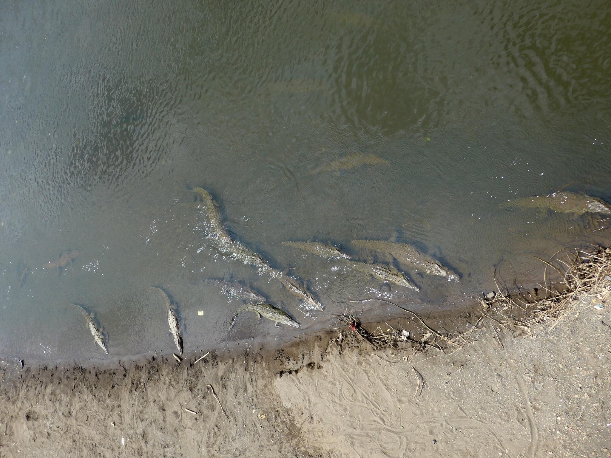 Von der Brücke aus fotografiert sehen die Krokodile beinahe harmlos aus...